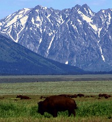 Foothill Wildlife (PelicanPete) Tags: wyoming west unitedstates jackson jacksonhole nature beauty colorful scenic mountains peaks grandtetons snow landscape wildlife buffalo inthewild foothills herd valley dominantmale largebuffalo upwind quiet thrill prettyexciting fun wild onlythebestofnature ridgeline slope