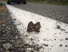 Dangerous Love (Bellwizard) Tags: love butterfly carretera amor mariposa amore farfalla cópula línea papallona coito