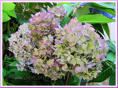 Hydrangea macrophylla 'Endless Summer', changing from blue to purplish-pink