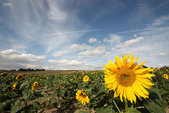 Sunflowers (gracust) Tags: uk summer england sky plants clouds hill sunflowers hertfordshire fantasticflower ickleford