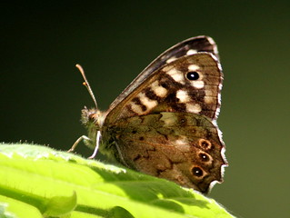 Speckled Wood On Fire