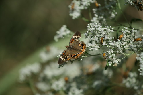 Buckeye butterfly one white boneset