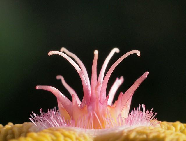 Stapelia flavopurpurea