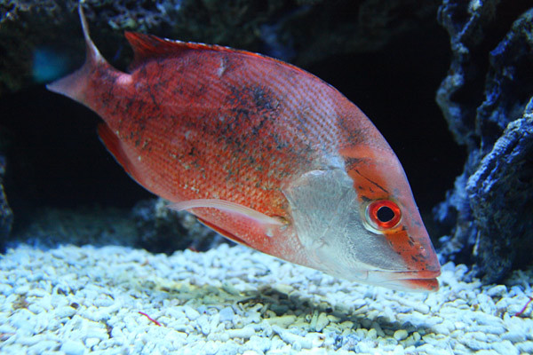 Red.Snapper