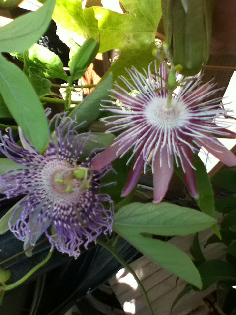 some of my passiflora - Page 2 6124523740_3d828e6153_z