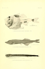 n56_w1150 (BioDivLibrary) Tags: albatrosssteamer fishes hawaiianislands smithsonianinstitutionlibraries sil smithsonian institution libraries bhl:page=12839353 dc:identifier=httpbiodiversitylibraryorgpage12839353 taxonomy:binomial=argyropelecushemigymnus taxonomy:binomial=cyclothoneatraria taxonomy:binomial=leptostomiasmacronema