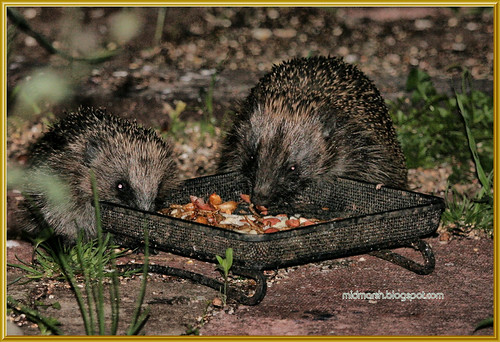 Mother and Juvenile Hedgehogs 1