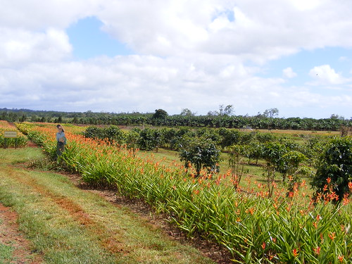 Picture from the Dole Pineapple Plantation