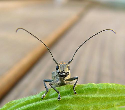 060725_longhorn_beetle