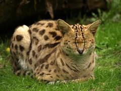 Serval (Rick & Bart) Tags: cat zoo kat serval dierentuin leptailurusserval olmen olmensezoo felisserval rickbart caracalserval flickrbigcats rickvink
