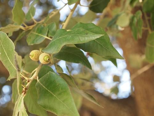 Quercus chrysolepsis ?