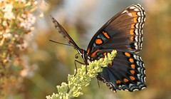 """Red"" Spotted Purple (DrPhotoMoto) Tags: blue orange butterfly northcarolina mimic richmondcounty tfi limenitisarthemis redspottedpurple thinfilminterference frequencywaves pipevineswallowtailmimic"