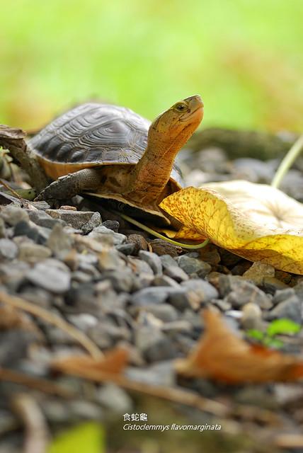食蛇龜 Cistoclemmys flavomarginata