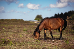 Forage (Mark J P) Tags: road uk greatbritain trees england sky horse tree english grass animal clouds forest britishisles unitedkingdom britain hampshire gb british newforest grazing graze brownhorse diamondclassphotographer flickrdiamond