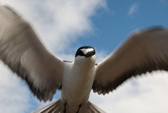 Close Brush With a Tern (a_willis) Tags: tern ornithology wideawake birdlife ascensionisland