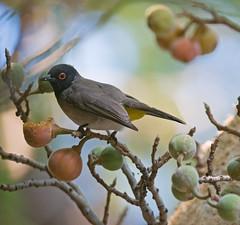 Red eyed Bulbul (MalcolmMacgregor) Tags: red birds eyed botswana bulbul