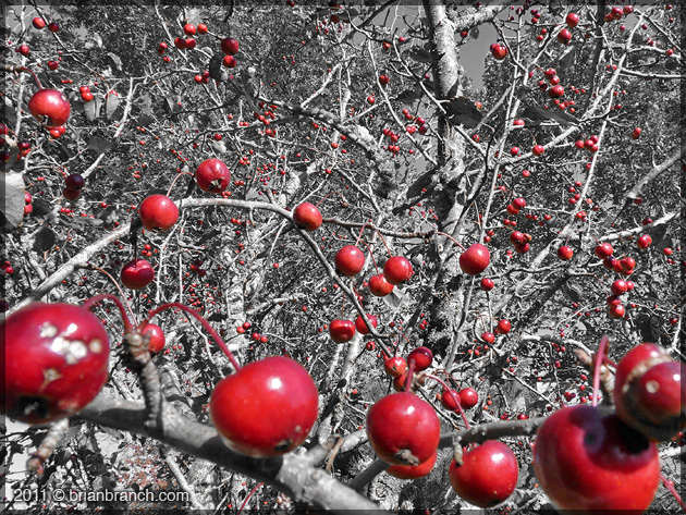 P1190185_crab_apples