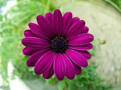 Purple Flower (Grieve2011) Tags: fisheye hero winner gamewinner herowinner elementsorganizer lumixgfisheye8f35 topwtz 8mmpanasonic panasoniclumix8mmm43 panasoniclumix8mm