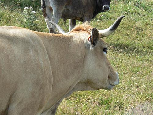vache de dos.jpg