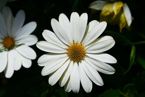 Spanish Daisy