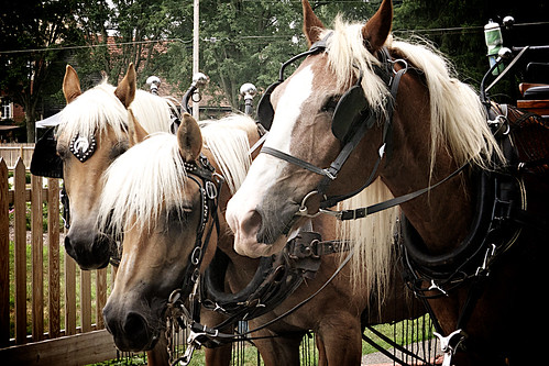 Zoar Ohio Harvest Festival 2011:  Clydesdales.