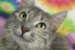 Beautiful Bella (KrazyBoutCats) Tags: cats pets colors animals kittens felines bella