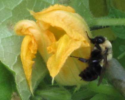 8.8.11 - Garden Bee