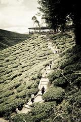 Boh Tea plantation (zelot :: Lester) Tags: cameron cameronhighlands bohteacentre malaysiacanoneosroadtrips