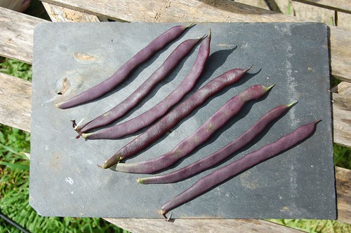 Giant Purple bean