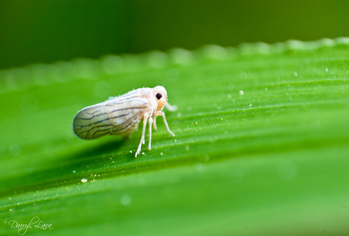 white leafhopper