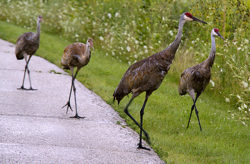 sandhill crane, family of four by McBeth