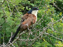 Burchell's Coucal (Centropus burchellii) (berniedup) Tags: southafrica kruger coucal lowersabie burchellscoucal centropus centropusburchellii taxonomy:binomial=centropusburchellii