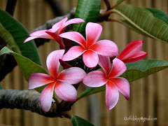 Pink Plumeria Bamboo (OffdaLipp) Tags: pink flowers plants plumeria gardening blossoms bamboo exotic