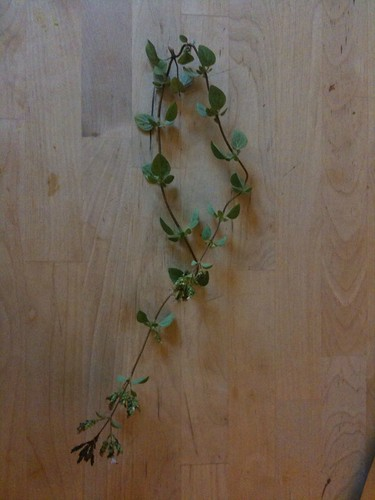 Sprig of oregano, from the garden