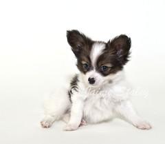 Papillon Puppy (Jaime401) Tags: dog pet baby brown cute a
