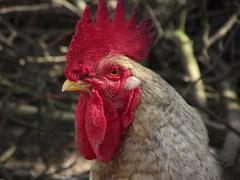Cock portrait, 2011 (andraszambo) Tags: chicken yard run cock poultry udvar kakas baromfi