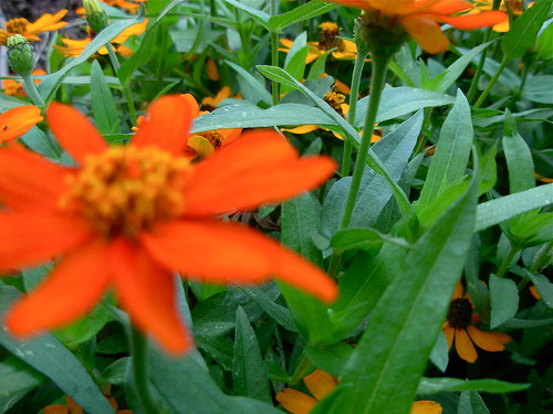 Zinnia Jungle