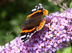Butterfly on Buddleja (Tony Worrall) Tags: ©2011tonyworrall copyright image beauty butterfly uk england preston lancashire lancs wil color colours wings outdoors country countyside northwest north fly pollen eat beautifulbugs insect land bloom summer flowers bright nice wild beautiful bugs redadmiral buddleja buddleia butterflybush purple papillon