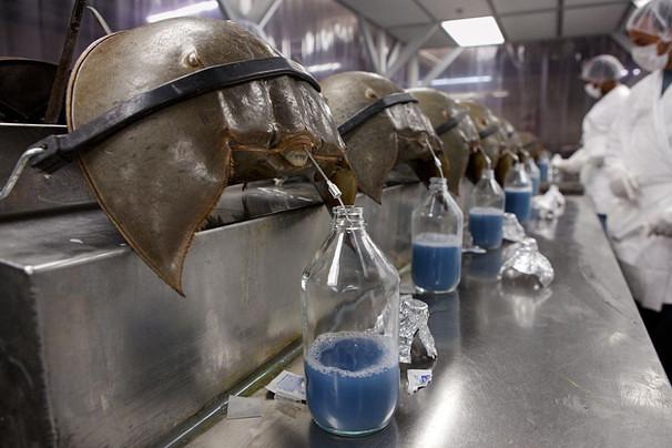 La valiosa sangre azul de un cangrejo Vista al Mar _