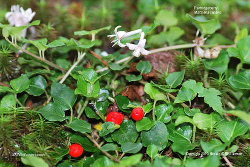 Partridgeberry, Partridge Berry, Sqaw Vine, Eyeberry - Mitchella repens