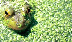 [Free Image] Animals, Amphibian, Frog, Green, 201108300500
