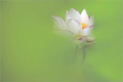 EXPLORED! Lotus Flower thru backlit leaves - IMG_4388-3 (Bahman Farzad) Tags: flower macro leaves yoga peace lotus relaxing peaceful meditation therapy thru lotusflower lotuspetal languageofflowers lotuspetals lotusflowerpetals stunningphotogpin lotusflowerpetal