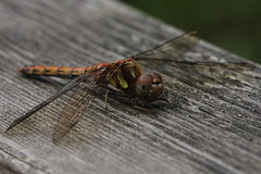 Dragonfly (Dr Ro) Tags: dragonfly pottericcarr 100mmmacro yorkshirewildlifetrust ywt canoneos40d