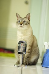 20110824__0188 (kenty_) Tags: cat ancient siamese gif