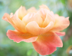 Peach Delight (NaturalPhotographySpa) Tags: bokeh orangerose rosepetals peachcolor closeuprose wonderfulworldofflowers
