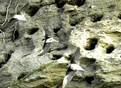 Uferschwalben, NGID460689114 (naturgucker.de) Tags: deutschland mecklenburgvorpommern ripariariparia rgen uferschwalbe naturguckerde carmindreisbach ngid460689114