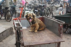 DSC00123 (Renata Gross Photography) Tags: china animals asia beijingstreet chinesedog