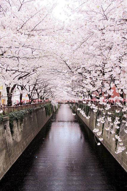 110409_165519_目黒川_桜