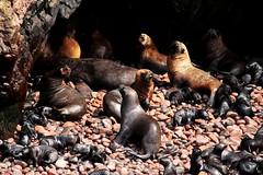 leoni marini (mat56.) Tags: beach nature animals leoni natura perù islas spiaggia animali paracas marini ballestas mat56