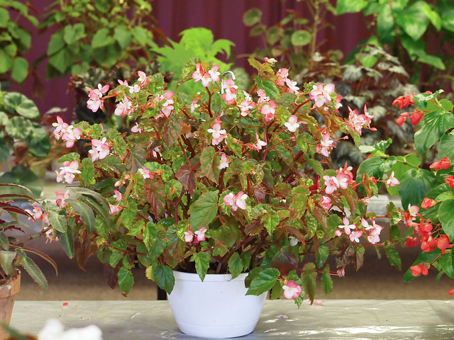 Begonia 'Richmondensis'
